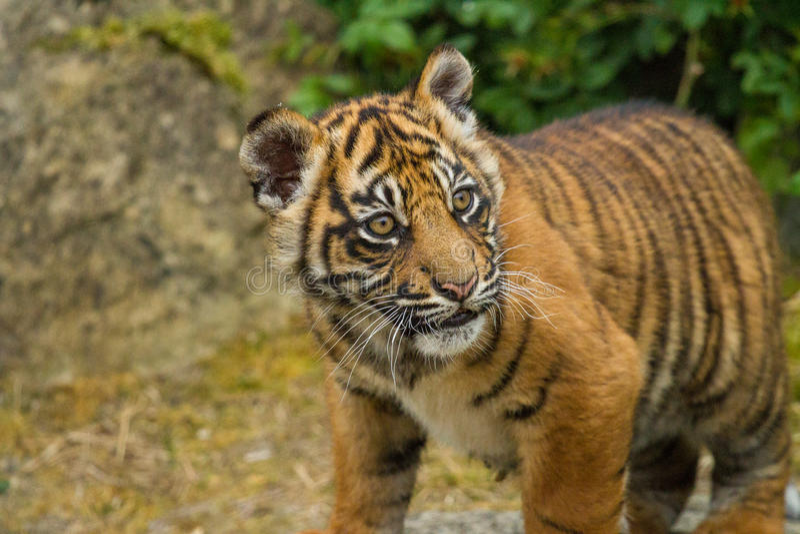 De Welp van de Tijger van Sumatran stock fotografie
