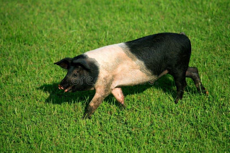 De welp van het varken stock foto