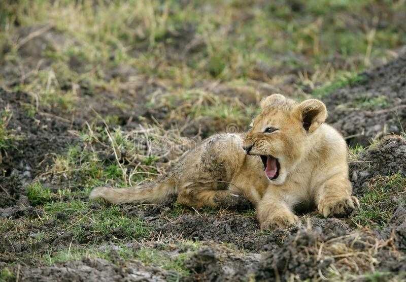 De welp van de leeuw geeuw stock fotografie