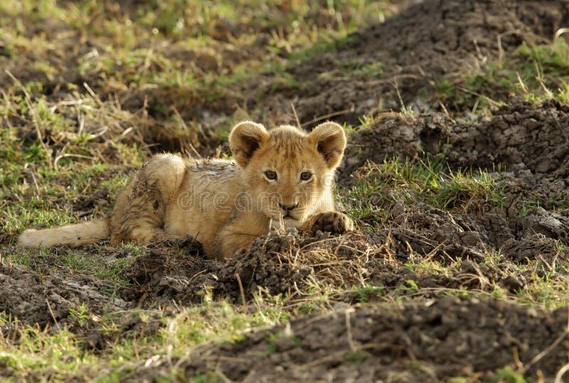 De welp van de leeuw het rusten stock foto