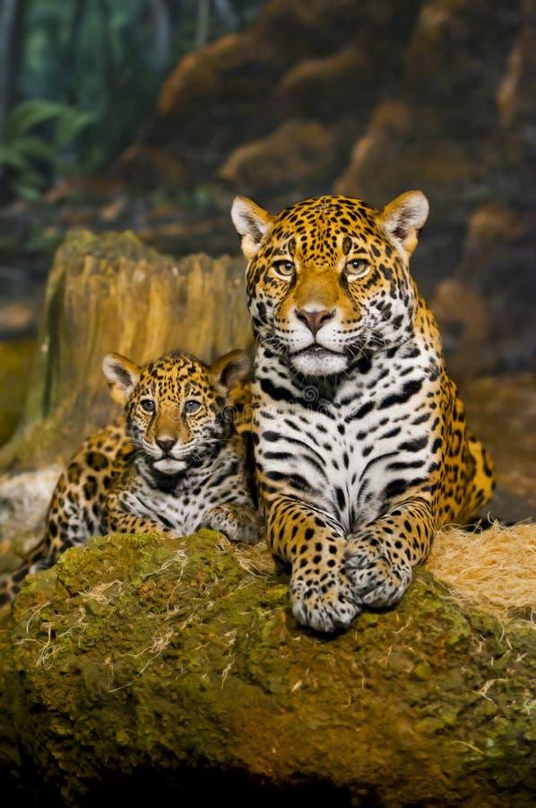 De Welpen van Jaguar royalty-vrije stock foto's