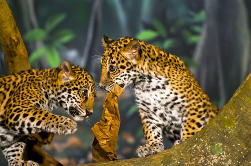 De Welpen van Jaguar stock afbeeldingen