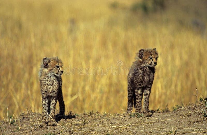 De welppaar van de jachtluipaard royalty-vrije stock fotografie