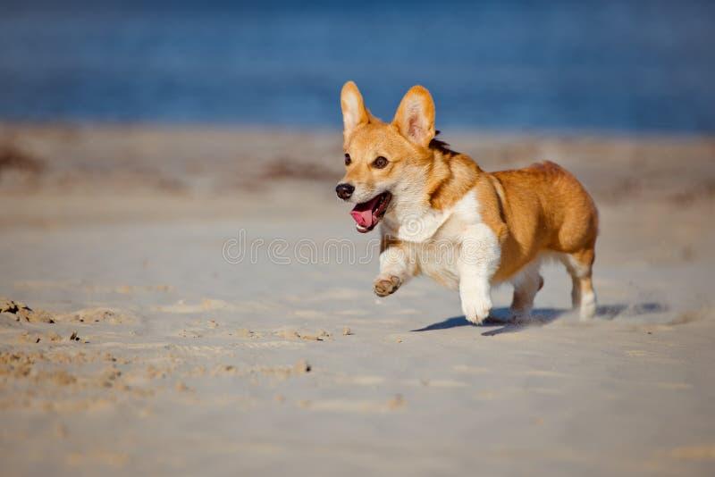 De Welse hond die van de corgicardigan op een strand lopen royalty-vrije stock foto's