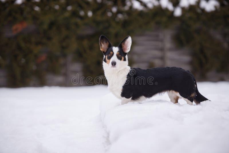 De Welse hond van de corgicardigan in openlucht in de winter stock fotografie