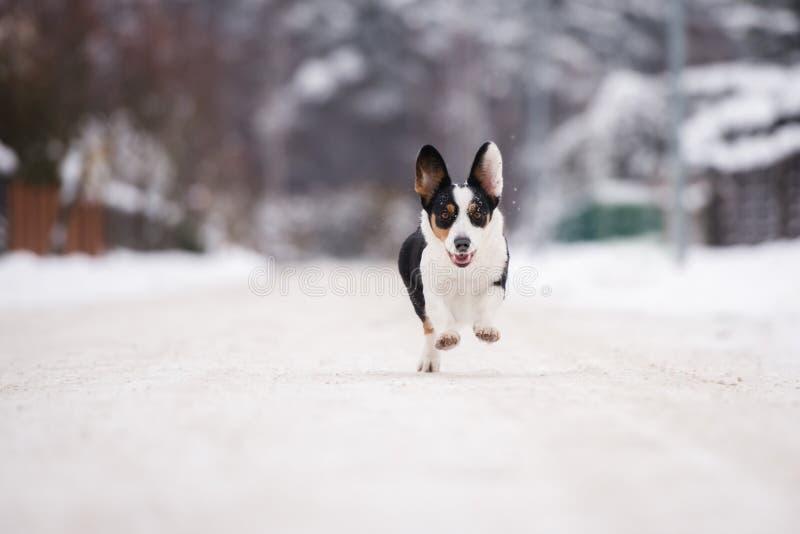 De Welse hond van de corgicardigan in openlucht in de winter stock afbeeldingen
