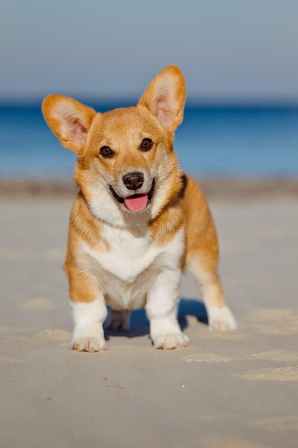 De Welse hond van de corgicardigan porttrait royalty-vrije stock fotografie