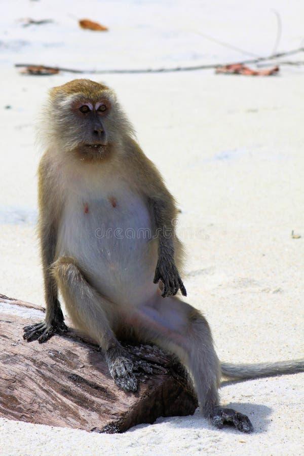 De Werkgever: Aapkrab die Macaque met lange staart, Macaca-fascicularis eten die op een boomstam in koele menselijke positie zitt royalty-vrije stock afbeeldingen