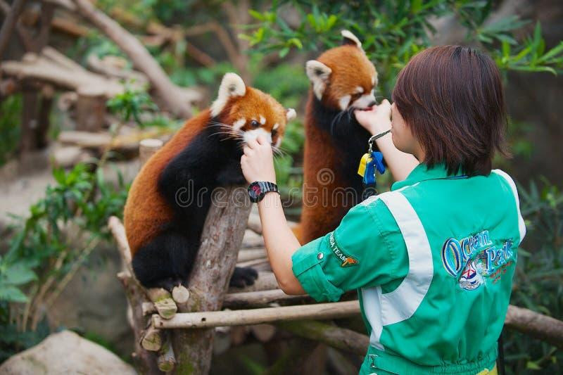 De werknemer voedt twee rode panda's binnen in een dierentuin in het Oceaanpark in Hong Kong, China stock afbeelding