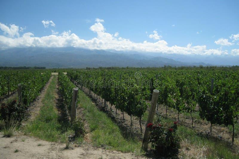 De werven van de wijnstok in de Andes stock fotografie