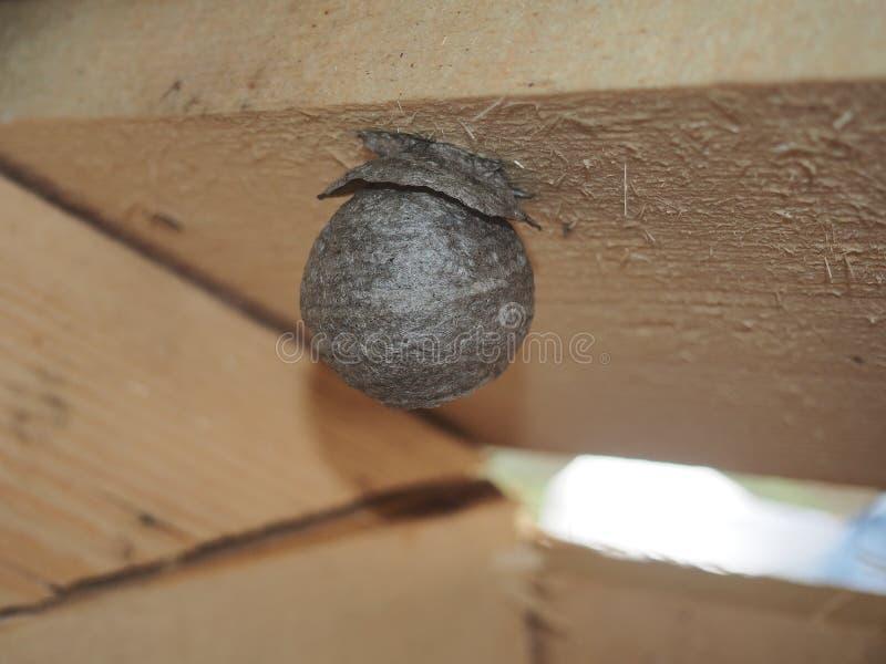 De wesp bouwt een sferisch nest Gevaarlijk insect royalty-vrije stock fotografie