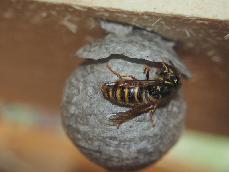 De wesp bouwt een sferisch nest Gevaarlijk insect royalty-vrije stock foto's