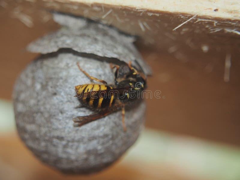 De wesp bouwt een sferisch nest Gevaarlijk insect stock afbeeldingen