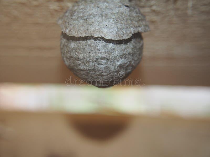 De wesp bouwt een sferisch nest Gevaarlijk insect stock foto's