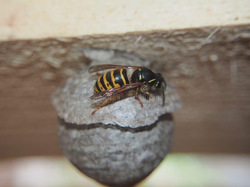 De wesp bouwt een sferisch nest Gevaarlijk insect royalty-vrije stock afbeelding