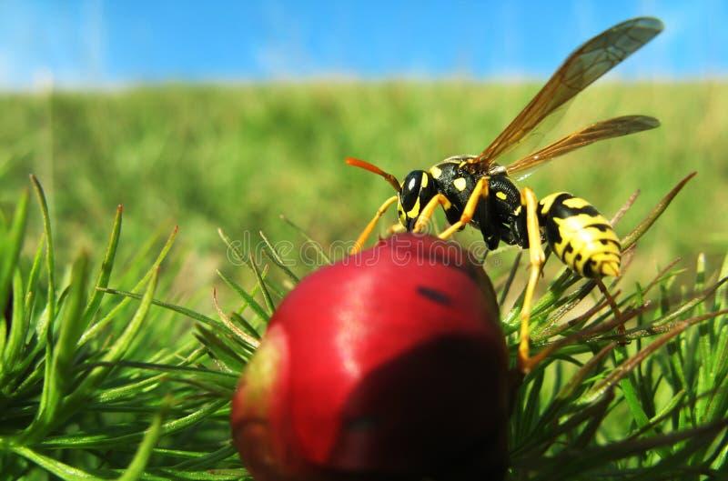 De wesp op de bloem stock foto