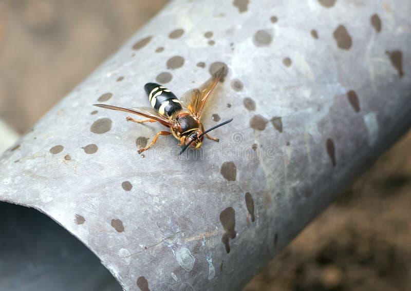 De wesp van de cicademoordenaar stock foto's