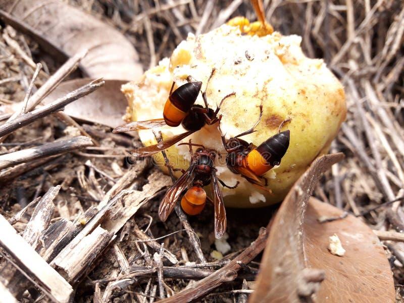 De wespen zijn gekomen om hun voedsel van rijp fruit te verzamelen stock afbeelding