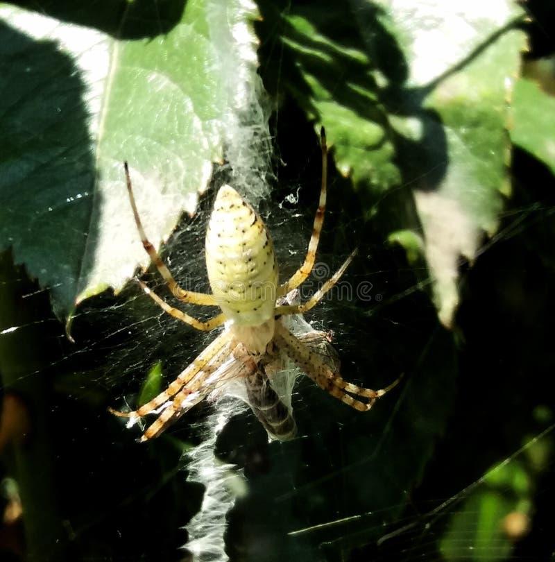 De Wespspin is een zeer grote, kleurrijke spin Het bouwt grote orb Web stock fotografie