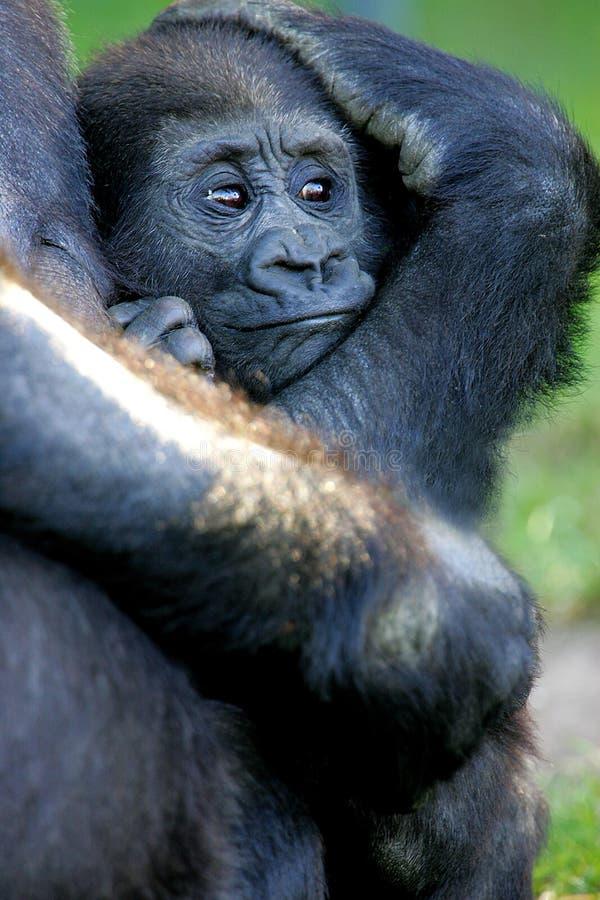 De westelijke Gorilla's van het Laagland royalty-vrije stock foto's