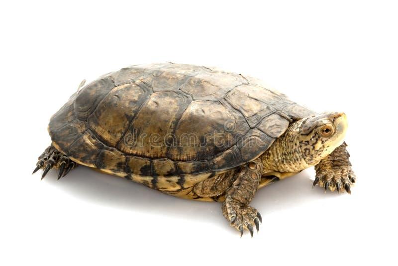 De westelijke Schildpad van de Vijver stock foto