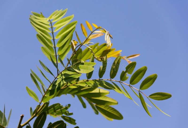 De wetenschappelijke naam van de Cassodboom: De bladeren van seneplantsiamea op bomen royalty-vrije stock foto