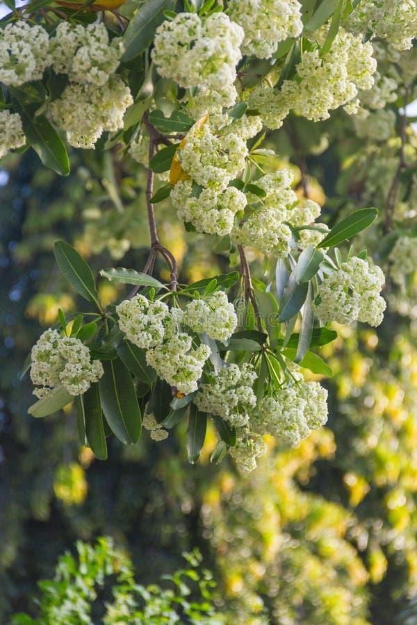 De wetenschappelijke naam van de duivelsboom: De witte bloemen w van Alstoniascholaris royalty-vrije stock afbeeldingen