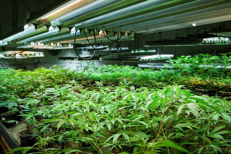 De wettelijke cannabis kweekt ruimtereeks - van de Marihuana het groeien en cultuur kleine installaties in het vroege stadium van royalty-vrije stock afbeeldingen