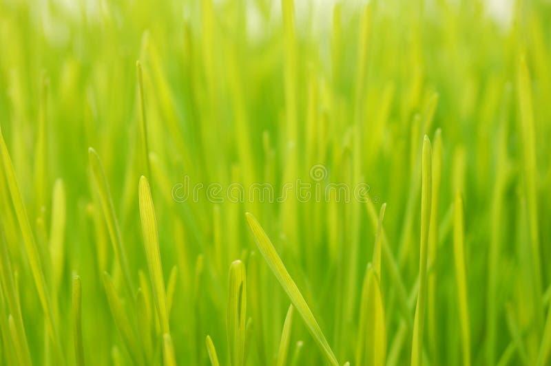 De Wheatgrass cierre para arriba fotos de archivo