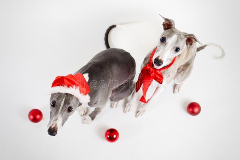 De whippetten van de kerstman met Kerstmissnuisterijen royalty-vrije stock fotografie