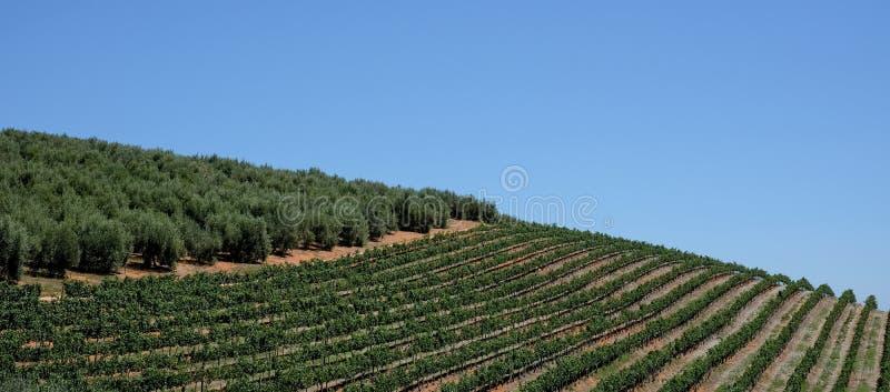 De wijngaard bij Tokara-Wijnlandgoed, Cape Town, Zuid-Afrika, op een duidelijke dag wordt genomen die De wijnstokken worden gepla stock fotografie