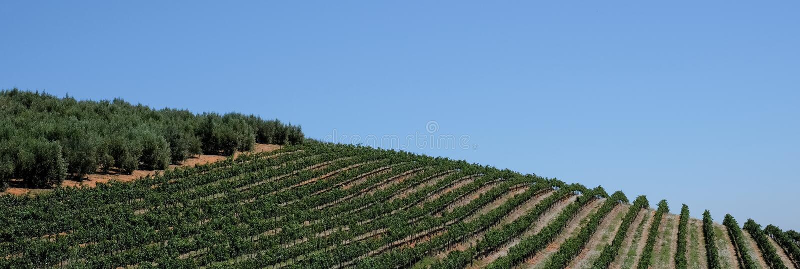 De wijngaard bij Tokara-Wijnlandgoed, Cape Town, Zuid-Afrika, op een duidelijke dag wordt genomen die De wijnstokken worden gepla stock foto