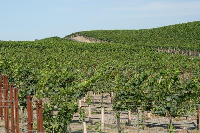 De Wijngaard Van Californië Royalty-vrije Stock Fotografie