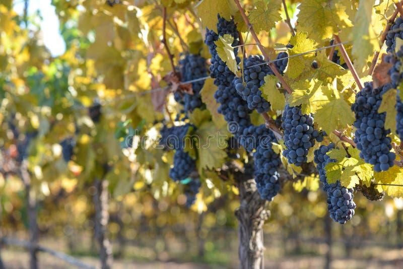 De Wijngaard van de druif in de Herfst stock foto's