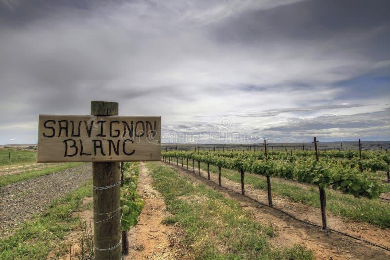 De Wijngaard van de Druiven van Sauvignon Blanc royalty-vrije stock fotografie
