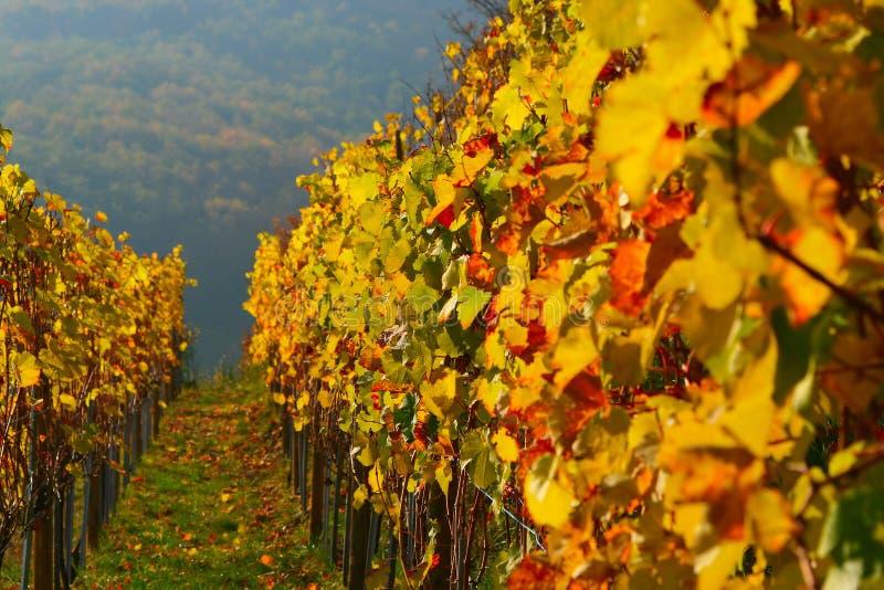 De Wijngaard van de kleur stock afbeeldingen