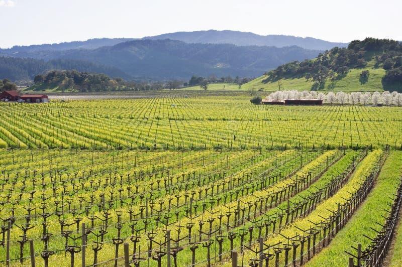 De wijngaard van de Vallei van Napa in de Lente royalty-vrije stock foto