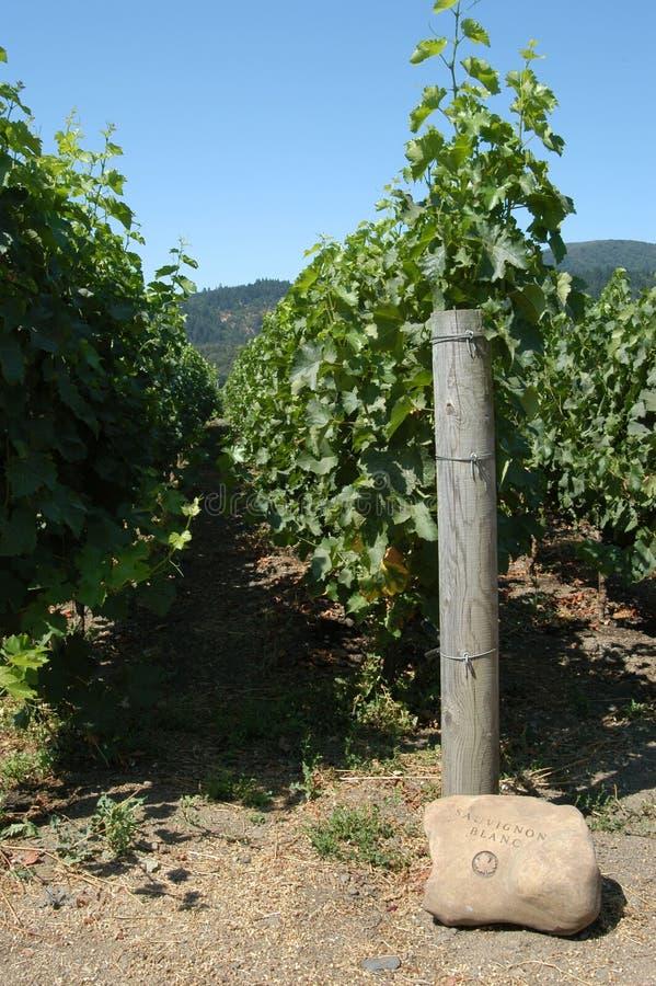 De wijngaard van Sauvignon blanc stock afbeeldingen