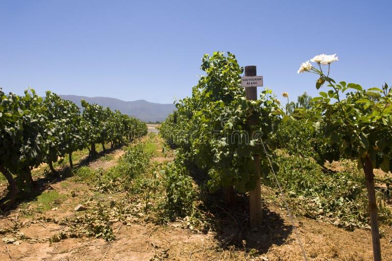 De wijngaard van Sauvignon blanc royalty-vrije stock foto
