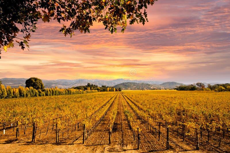 De Wijngaarden Autumn Sunset van de Napavallei royalty-vrije stock afbeelding