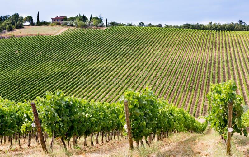 De wijngaarden bloeien in Monte di Sotto van Chianti, Toscanië, Italië stock afbeelding