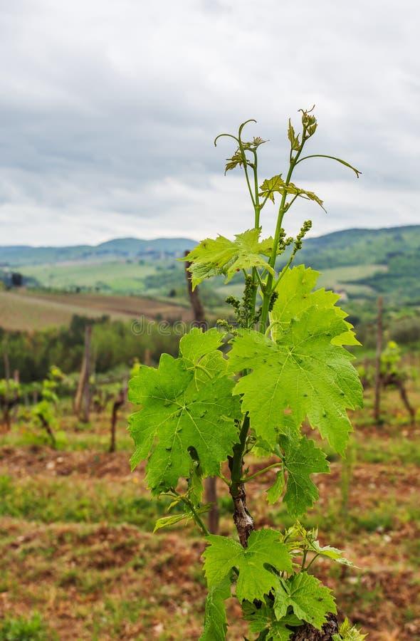 De wijngaarden van Chianti royalty-vrije stock foto's