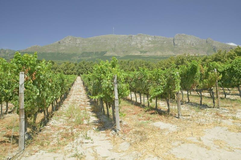 De Wijngaarden van de Constantiawijn buiten Cape Town, Zuid-Afrika stock afbeelding