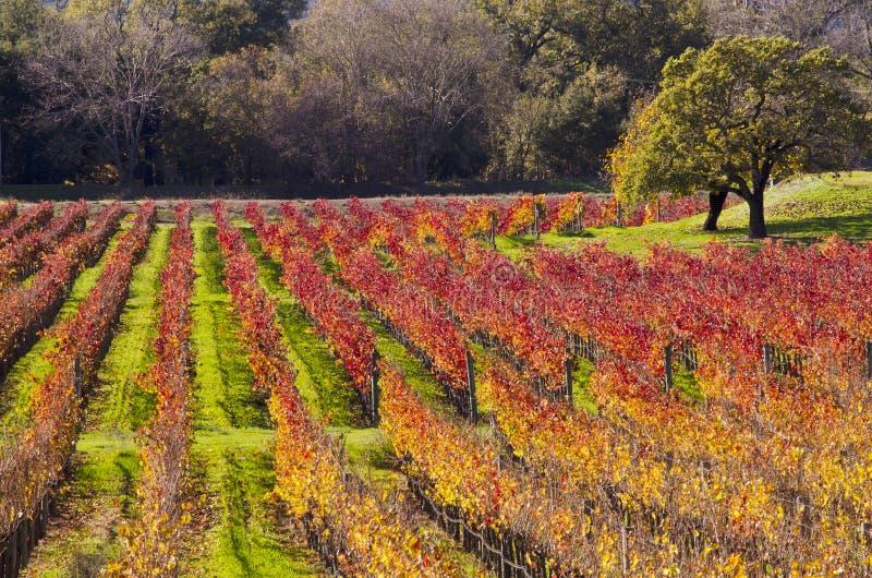 De Wijngaarden van de Napavallei in Autumn Colors royalty-vrije stock afbeeldingen