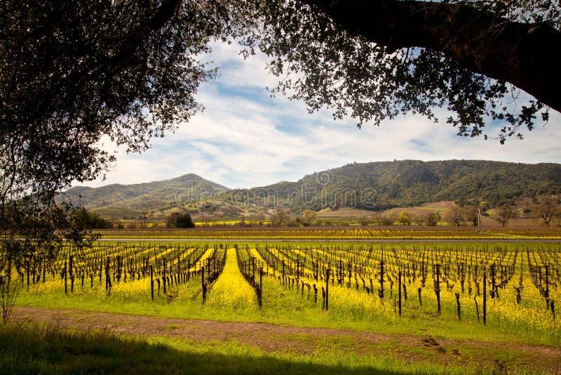 De Wijngaarden van de Napavallei en de Lentemosterd stock fotografie
