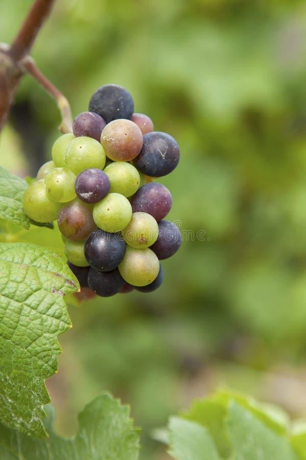 De wijngaarden van de open vlakte royalty-vrije stock afbeelding