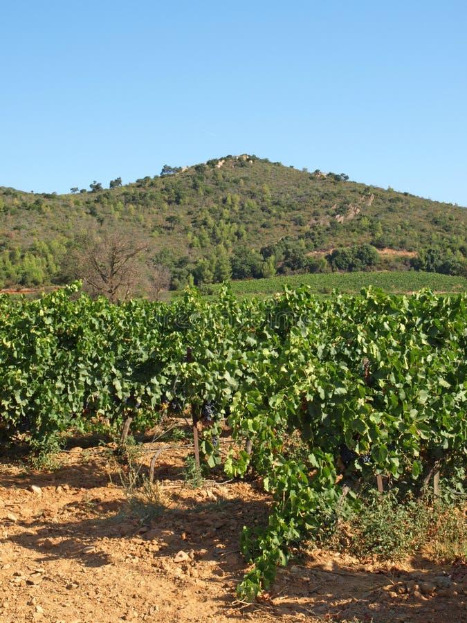 De wijngaarden van de Provence stock foto's