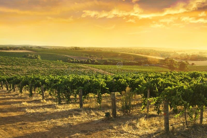 De Wijngaarden van de Vallei van Barossa royalty-vrije stock foto
