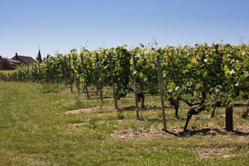 De wijngaarden van de zomer stock fotografie