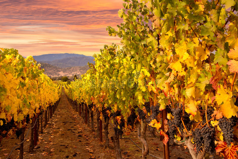 De Wijngaardenzonsopgang van de Napavallei stock foto's
